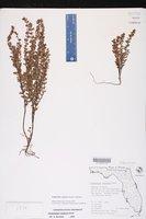 Euphorbia conferta image