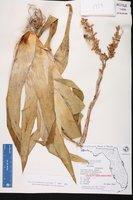 Catopsis berteroniana image