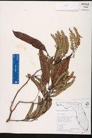 Lysiloma latisiliquum image