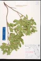 Hypelate trifoliata image