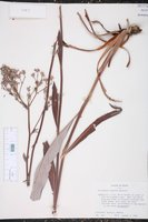 Image of Eriogonum vespinum