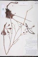Image of Eriogonum nealleyi