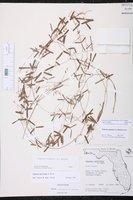 Galactia austrofloridensis image
