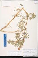Lupinus angustifolius image