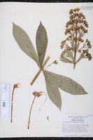 Clerodendrum indicum image