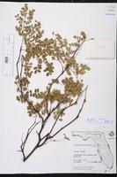 Denisophytum pauciflorum image