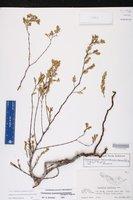 Euphorbia mesembrianthemifolia image