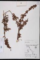 Calliandra haematomma image