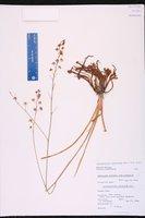 Schoenolirion albiflorum image
