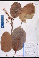 Ficus benghalensis image