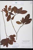 Morella caroliniensis image