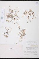Acmella iodiscaea image