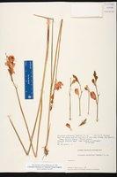 Calopogon tuberosus var. simpsonii image