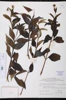 Wedelia fruticosa image