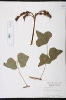 Erythrina herbacea image