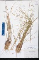 Muhlenbergia capillaris var. trichopodes image