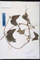 Passiflora rubra image