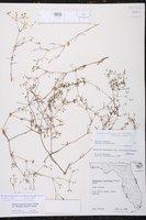 Houstonia floridana image