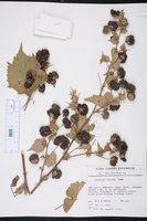 Abutilon indicum image