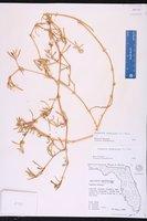 Blutaparon vermiculare image