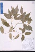 Amyris balsamifera image