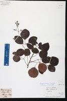 Metopium brownei image