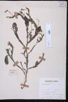 Crotalaria alata image