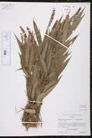 Merostachys fischeriana image
