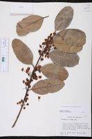 Calophyllum antillanum image
