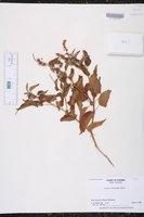 Image of Croton hircinus