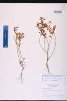 Croton glandulosus var. floridanus image