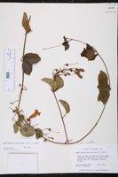 Amphilophium lactiflorum image