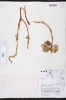 Image of Croton churumayensis