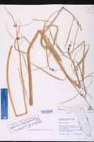 Caperonia castaneifolia image