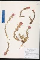 Castilleja brevilobata image