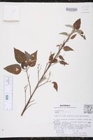 Image of Croton glabellus