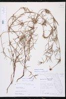 Spermacoce verticillata image
