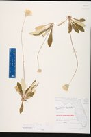 Chaptalia albicans image
