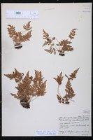 Anemia adiantifolia image