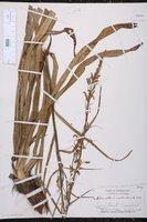 Stenanthium gramineum var. robustum image