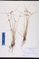 Cyperus neotropicalis image