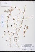 Image of Eriogonum galioides