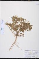 Physalis crassifolia var. infundibularis image
