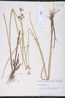 Juncus canadensis var. sparsiflorus image