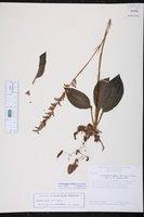 Cyclopogon elatus image