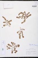 Euphorbia mendezii image