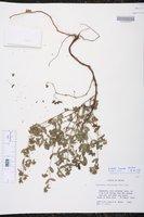 Chamaesyce lasiocarpa image