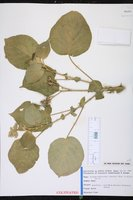 Solanum abutiloides image