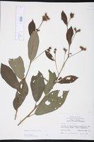 Image of Pavonia rosea