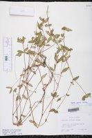 Euphorbia lineata image